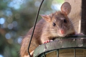 Rat Control, Pest Control in Battersea, SW11 . Call Now 020 8166 9746