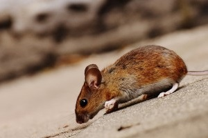 Mice Exterminator, Pest Control in Battersea, SW11 . Call Now 020 8166 9746