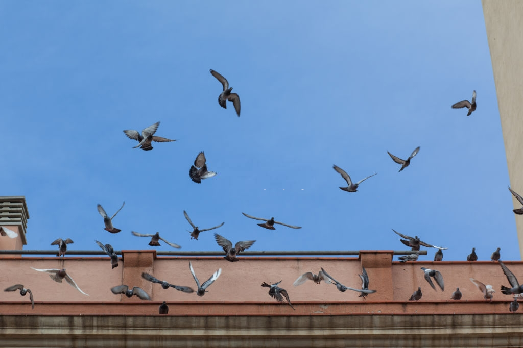 Pigeon Pest, Pest Control in Battersea, SW11 . Call Now 020 8166 9746