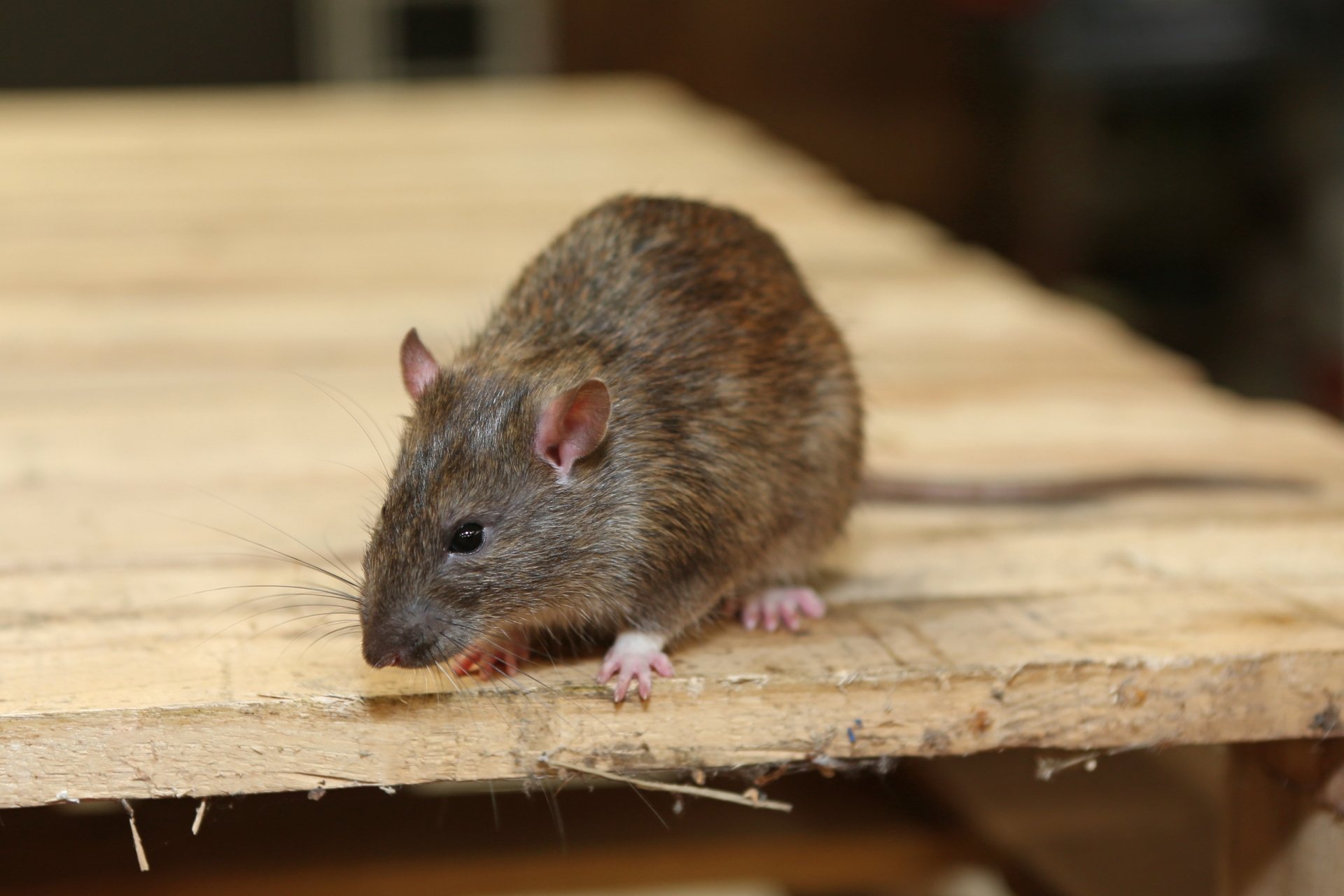 Rat extermination, Pest Control in Battersea, SW11 . Call Now 020 8166 9746